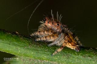 Jumping spider (Salticidae) - DSC_6303