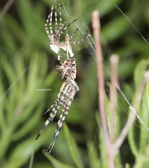 side view of  moulted Argiope with males (Phil Arachno) Tags: spinne spider peloponnes greece griechenland arachnida argiope chelicerata arthropoda moult