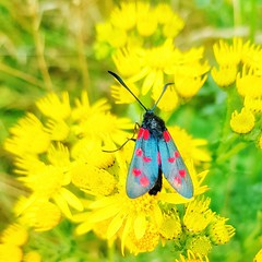 Look what I spotted! No pun intended... 😉 A beautiful six spot burnet moth. (Kerriemeister) Tags: sixspotburnet moth nature colourful mobilephone mobilephotography samsungs8