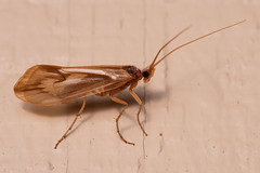 Unidentified Caddisfly (Misenus1) Tags: lancasterma massachusetts animalia arthropoda insecta trichoptera caddisflies taxonomy:kingdom=animalia taxonomy:phylum=arthropoda taxonomy:class=insecta taxonomy:order=trichoptera