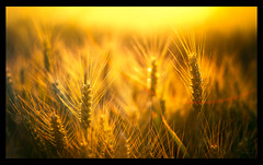 dietary fibre (Simon[L]) Tags: wheat crop fibre yellow sun flare bokeh summer canon50mmf18ltm wholegrain