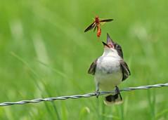 Eastern Kingbird (hennessy.barb) Tags: kingbird easternkingbird tyrannustyrannus bug bird tremaxcolumba pigeontremexhorntail woodwasp pigeonhorntailwasp barbhennessy