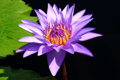 Heart of Gold (Stanley Zimny (Thank You for 32 Million views)) Tags: lily waterlily flower leaves green gold bronx botanical garden purple color