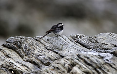 Pied Wagtail (1V4A3910) (shelleyK2) Tags: isleofman douglas beach bird wildlife nature rock wagtail springwatch piedwagtail outdoor animal sigma canoneos7dmarkii