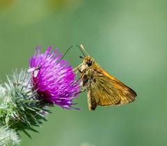 Taken at Titchmarsh Nature Reserve, Aldwincle, Northants. UK (Ian J Hicks) Tags: