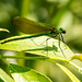 Female banded demoiselle (calopteryx splendens)