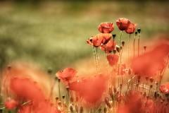 sfumature (mat56.) Tags: fiori flowers papaveri poppies prato lawn rosso red verde green sfumature shades campagna sancolombanoallambro milano pianura padana lombardia antonio romei mat56
