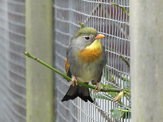 Red-billed leiothrix - on the Fence