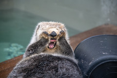 OMG! (zenseas) Tags: cleaning summer washington endangered funny otter enhydralutris seaotter seattleaquarium seattle grooming