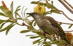 the nectar hunters - a little wattlebird #3 (Fat Burns ☮) Tags: littlewattlebird anthochaerachrysoptera honeyeater wattlebird bird australianbird fauna australianfauna nikond500 sigma150600mmf563dgoshsmsports kakadunaturereserve bribieisland nature outdoors