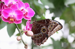 (bugman11) Tags: butterfly butterflies bug bugs bokeh insect insects animal animals fauna flora flower flowers orchid orchids canon nederland 100mm28lmacro harskamp passiflorahoeve macro thenetherlands