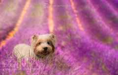 Dreaming of Provence (KevinBJensen) Tags: provence provenza lavanda lavender cane dog dogs wes terrie westie west highland fioritura blooms beau beautiful pink rosa colours colour light lights funny davide russo photography nikon d750 dreaming lines perspective bokeh animal