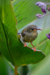 Juvenile sunbird balancing on a water canna leaf (Robert-Ang) Tags: watercanna swamplily nature wildlife sunbird jurongecogarden singapore