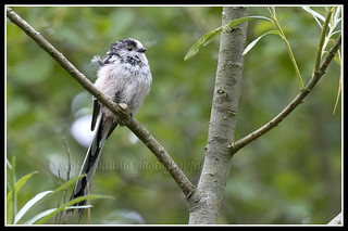 IMG_0014 Long-tailed Tit