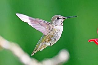 Anna's Hummingbird Flying 18-0708-6499