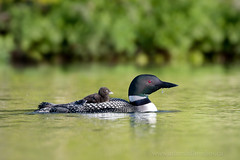 Loon and chick (Adam Hill Photo) Tags: loon paddle gavia immer canada cape breton bird