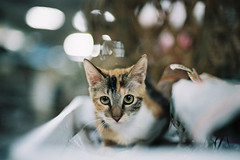 CNV000030 (雅布 重) Tags: 2017 street nikon f100 nikkor 50mm f14d tudorcolors xlx200 film snap taiwan cat 貓