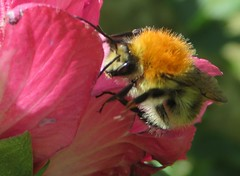 The bee and the hibiscus. L'abeille et l'hibiscus. (cpenotgiraudeau) Tags: fabuleuse