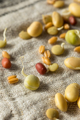 Assorted Raw Sprouted Beans Legumes (brent.hofacker) Tags: asian assortedbeans background bean beans bowl chinese closeup cooking cuisine culinary diet edible food fresh germinate gourmet green growth healthy ingredient legumes mung nutrition organic peas plant raw snack soja soy soya soybean sprout sproutedbeans sproutedlegumes texture vegetable vegetarian vitamin