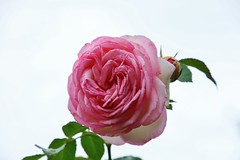 Sunday Rose (Hugo von Schreck) Tags: hugovonschreck rose flower blume blüte macro makro canoneos5dsr