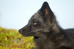 Silver fox (Seventh day photography.ca) Tags: silverfox kit young fox redfox animal nature wildanimal wildlife summer newfoundland canada chrismacdonald 7thdayphotography