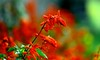 After rain (Rajavelu1) Tags: flowers red green depthoffield bokeh colours plant waterdroplets lovely outdoorphotography artwork creative dslr handheld availablelight artdigital