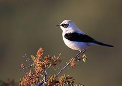 Traquet oreillard (Michel Idre - 7 millions de vues merci) Tags: oiseau bird aves monégros espagne traquetoreillard