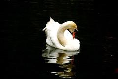 white Beauty (sabine1955) Tags: schwan swan white weis reflexion spiegelung natur