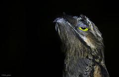 Common Potoo (Nyctibius griseus) (vitek.jirinec) Tags: potoo nyctibius night nocturnalbirds