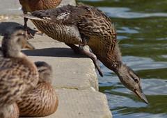 Tipping point (simon edge) Tags: ducks bird nikon d5100 55300mm chesterfieldcanal