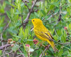 Yellow Warbler (MoeDW) Tags: yellowwarbler warbler bird dendroicapetechia lakeeriebluffs lakemetroparks