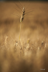 L échevelé-1 (FLOCVROFF) Tags: herbacees herbes grasses sunset campagne marne chivaroff canon 250mm summer colors
