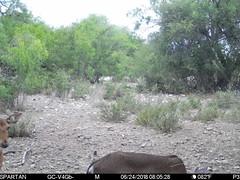 2018-06-24 08:05:28 - Crystal Creek 1 (Crystal Creek Bowhunting) Tags: crystal creek bowhunting trail cam