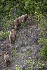 Alaska Peninsula brown bear/Grizzly Bear (Ursus arctos horribilis) (Freshairphotography) Tags: alaskapeninsulabrownbear ursusarctoshorribilis grizzly grizzlybear alaska hainesalaska haines bear bearcub brownbear wilderness wildanimal wildlife bearcubs nature animals adorable grizzlies