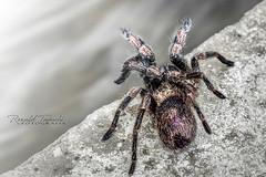 Araña Arañita (@rontacuchi) Tags: animal araña fujifilm natural spider distritodesanpedrodecasta lima perú