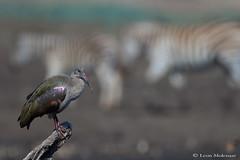 Hadeda Ibis (leendert3) Tags: leonmolenaar southafrica krugernationalpark wildlife nature birds hadedaibis ngc npc coth5
