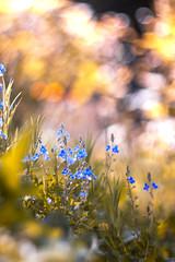 (Xavier Ligonnet (Daftlive)) Tags: macro flower bokeh bokehmonster flare sun sunset love beautiful grass green blue gold golden goldenhour bubble pearl helios