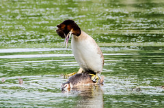 Great Crested Grebes Mating (podiceps cristatus) (search instagram phat5toe) Tags: greatcrestedgrebe podicepscristatus birds avian feathers wildlife nature wigan flashes nikon d7000 tamron150600mm