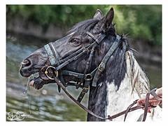 Appleby-Horse-Fair-2018-16x12-C (duncancooke.happydayz) Tags: people gypsies gypsy horses horse appleby fair cumbria westmorland portrait water river