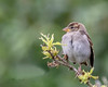 Sparrow Fledgling... (Catherine Cochrane) Tags: birds birdsuk nature wildlife outdoors fledgling bird young sparrow