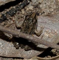 Leptodactylus latrans - Butter Frog / Criolla Frog / Lesser Foam Frog / Rã-Manteiga... (Steffen, 1815) (A Sprinkle of Earth) Tags: leptodactylus sp leptodactyluslatrans leptodactyluschaquensis leptodactylussp brasil brazil southamerica américadosul fortaleza ceará neotropical butterfrog criollafrog lesserfoamfrog rãmanteiga tinyfrog rãpequena rã marrom rãjovem brown black green preto verde youngfrog herpetology herpetologia animalia herpetologiabrasileira amphibia lissamphibia batrachia anura neobatrachia bufonoidea leptodactylidae leptodactylinae biology biologia animal animals animais sapos rãs sapo anfíbios amphibians amphibian predator small pequeno predador wild wildlife selvagem vidaselvagem herpeto oscarneto asprinkleofearth spiritofphotography fauna red orange vermelho laranja nature natureza natural naturalism naturaleza naturalismo fotonaturalismo brazilian