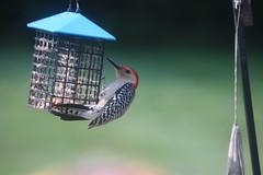 Red-Bellied Woodpecker (Saline, Michigan) - June  2018 (cseeman) Tags: redbelliedwoodpecker woodpecker feeder birds saline michigan backyard redbelliedwoodpecker062018