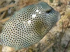 Lactophrys bicaudalis, spotted trunkfish (shyzaboy) Tags: underwater caribbean bahamas grandbahamaisland freeport fish snorkeling lactophrysbicaudalis spottedtrunkfish trunkfish nature