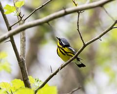 Magnolia Warbler (MoeDW) Tags: magnoliawarbler warbler bird dendroicamagnolia chagrinriverpark lakemetroparks