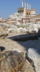 A slow look at Ephesus (grinnin1110) Tags: turtle ruins vacation2015 turkey mediterraneancruise asia kusadasi ephesus