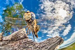 Dragonfly (Urothemis edwardsii) - DSC_4586b (nickybay) Tags: africa mozambique bugshot macro sofala gorongosa dragonfly anisoptera urothemis edwardsii cctv wideangle libellulidae