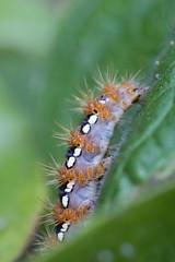 Hairy Caterpillar (ellieupson) Tags: uk england united kingdom garden caterpillar minibeast macro green hairy bug orange