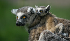 Mother and Baby Lemur (Kerry711) Tags: 70210mm a6000 adapter alpha animal baby beercan doncaster england laea4 lemur lens minolta old sony southyorkshire yorkshirewildlifepark young wild