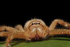 Badge huntsman (Neosparassus sp.) (edward.evans) Tags: cairns far north queensland australia invert arachnid araneae sparassidae spider venom huntsman badgehuntsman neosparassus olios heteropoda