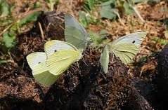 Small Whites Feeding On Horse Dung 060718 (2) (Richard Collier - Wildlife and Travel Photography) Tags: insects wildlife naturalhistory nature closeup macro butterflies britishinsect british smallwhite